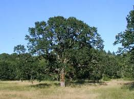 oak species common trees of the pacific northwest
