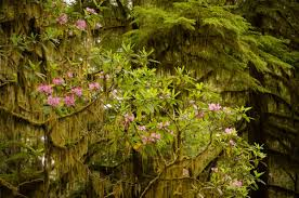 wild rhododendron moss and giant redwoods northern california
