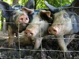 the best part about raising pigs u2013 farm fresh for life u2013 real food