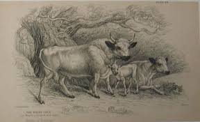 ancient history of the white cattle of britain polled british