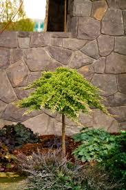 dwarf japanese garden juniper achieves gold standard for dense