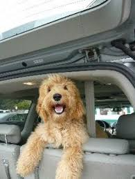 doodle doo labradoodles guess who with the doodles chocolate australian labradoodle