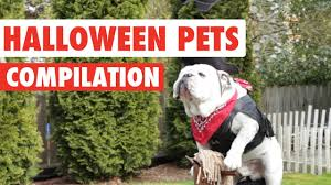 english bulldog halloween costumes halloween pets video compilation 2016 youtube