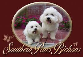 ozzie a bichon frise southernpawsbichons