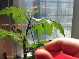 hardest plant to grow how to create near infinite clones of your favorite tomato or any
