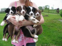 australian shepherd 4 weeks old puppies at efk miniature australian shepherds and miniature