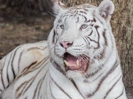 2 white tiger genetics the basics white tigers the