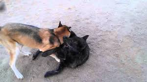 belgian shepherd victoria wolfdog fight youtube