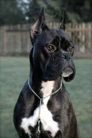 boxer dog meme boxer energetic and funny military dogs bait and 18th century