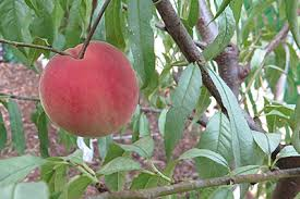 Planting Fruit Trees In Backyard Tips For Planning A Backyard Orchard Benefits U0026 Functions Of