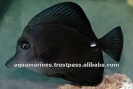 Buy Ornamental Fish Aquarium Fish Tropical Fish Black Tang Pet Fish Buy Pet Fish
