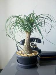 what is the name of this mini tree walter reeves the