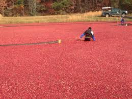 umass cranberry station offers support to local growers wcai
