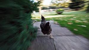Chicken Running Meme - le cou de crayon on twitter high by the beach lana del rey