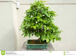 chinese quince bonsai tree stock photo image of botanical 91468558