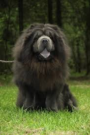 mr black chow chow haircut sporting a lion clip dog grooming