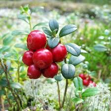 mirtillo in vaso mirtillo vaccinium vitis idaea mirtillo rosso vaso 1 5 litri