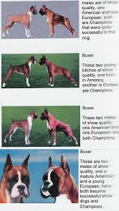 2 types of boxer dogs european vs american boxer