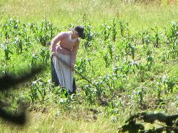 plymouth plantation thanksgiving dinner pilgrim woman farming the corn field at the plimoth plantation