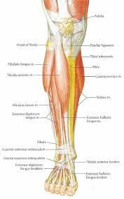 best 25 calf anatomy ideas on pinterest leg anatomy calf leg