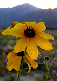 wildflower super bloom photos of the anza borrego desert anza