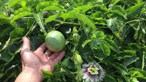 revisit my passion fruit vine youtube