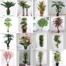 2015 popular ornamental plant cycas revoluta palm tree living