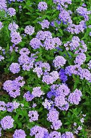 verbena flower verbena blue princess blue princess verbena for sale 13 00