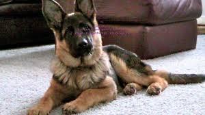 belgian shepherd for sale in pakistan dog training board and train michigan german shepherd