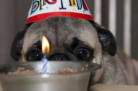 Happy Birthday Pug Meme - meme template search imgflip