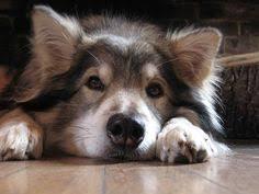 belgian shepherd x malamute utonagan dog specially bred from alaskan malamute siberian