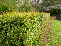 native plants for hedging all about hedges gardening with angus
