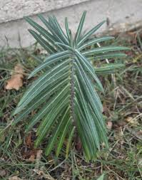 identification what is this plant with long sharp leaves is it
