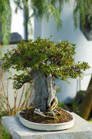 a 70 years old japanese bonsai artificially miniaturized pot