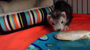 baby ferret eats raw chicken wing ferret raw diet transition