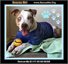american pitbull terrier white with black spots arizona pit bull rescue u2015 adoptions u2015 rescueme org