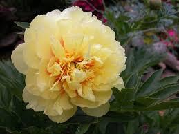 yellow peonies bartzella yellow itoh peony cricket hill garden