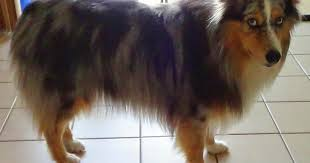 australian shepherd hair dog training at home monday mischief summer puppy cut for my