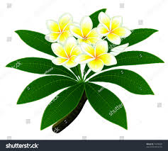 branch tropical tree plumeria group flowers stock vector 74478505