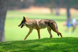 is palos verdes peninsula doing enough about coyote activity