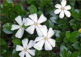 Fragrant Plants For Shade - seeds for fragrant plants
