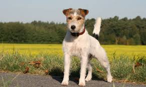 diffrent types of terrier dogs breeds pets world