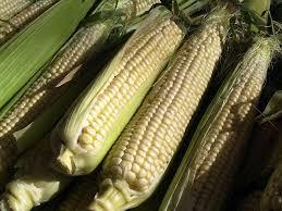 corn harvesting info u2013 when and how to pick sweet corn