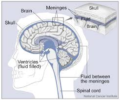 Anatomy And Physiology Of The Brain Brain Cancer Cancerquest