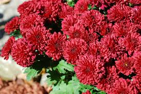 10 beautiful fall flowers to liven up your garden hd flower