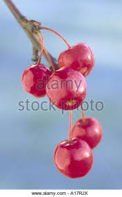 crab apples bunch stock photos crab apples bunch stock images