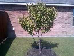 kwanzan pruning