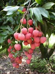 lychee fruit candy lychee on tree delicious and juicy lychee or