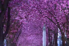 japanese cherry blossoms in bonn jan hapke