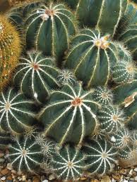 11 succulents for a desert garden hgtv
